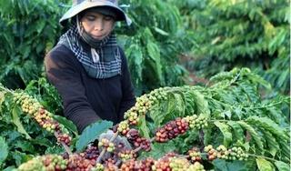 Giá cà phê hôm nay 10/10: Lặng sóng ở mức 31.700 - 32.600 đồng/kg