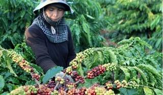 Giá cà phê hôm nay 14/5: Giảm nhẹ 200 đồng/kg so với hôm qua