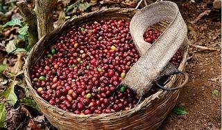Giá cà phê hôm nay 6/4: Tiếp tục lao dốc mạnh, giảm 600 đồng/kg