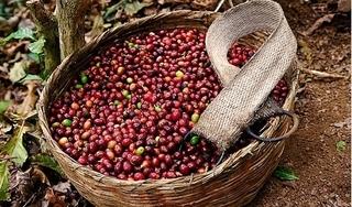 Giá cà phê hôm nay 30/7: Tăng mạnh trở lại 500 đồng/kg