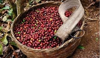 Giá cà phê hôm nay 8/10: Bất ngờ giảm mạnh đến 700 đồng/kg