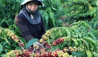 Giá cà phê hôm nay 8/4: Tiếp nối đà giảm tuần trước, sụt 200 đồng/kg