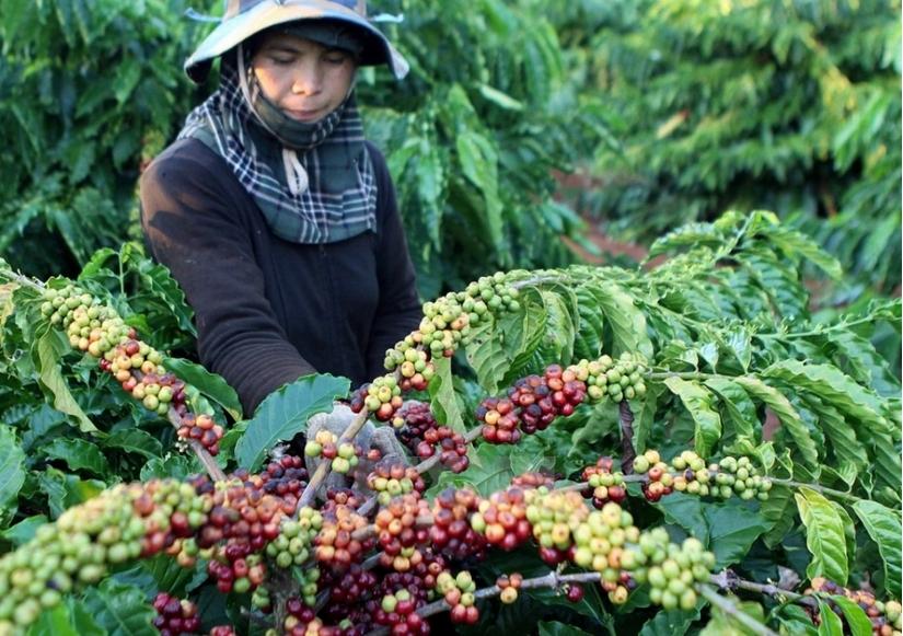 Giá cà phê hôm nay 8/4: Tiếp nối đà giảm tuần trước, sụt 200 đồng/kg vào đầu tuần