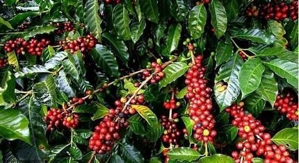 Giá cà phê hôm nay 22/8: Tăng nhẹ trở lại 100 đồng/kg