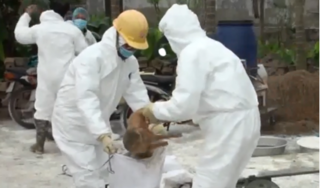 Nam Định: Thêm huyện Hải Hậu xuất hiện dịch tả lợn châu Phi