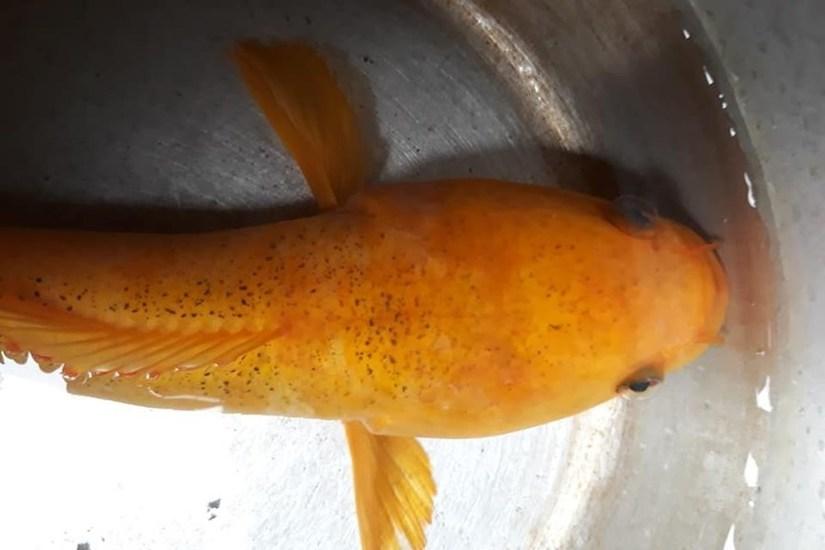 Cá lóc vàng được câu tại tỉnh Đắk Nông