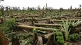 Trận cuồng phong 15 phút san bằng hàng trăm hecta chuối ở Phú Thọ