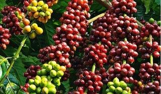 Giá cà phê hôm nay 10/5: Bất ngờ tăng 'sốc' hơn 1.000 đồng/kg