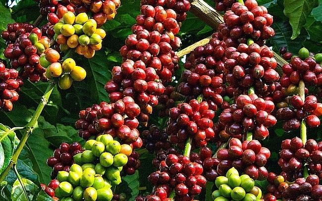 Giá cà phê hôm nay 10/4: Quay đầu giảm nhẹ 100 đồng/kg