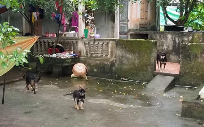 Vụ đàn chó cắn chết bé trai 7 tuổi ở Hưng Yên: Trước đó còn cắn 1 cháu bé khác