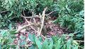 Vườn nhãn gần 100 cây ở Hưng Yên bị kẻ xấu chặt phá tan tành sau một đêm