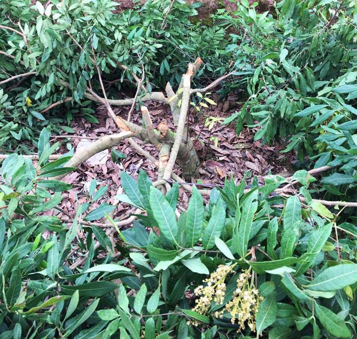 Hưng Yên: Vườn nhãn gần 100 cây bị chặt phá không thương tiếc sau một đêm