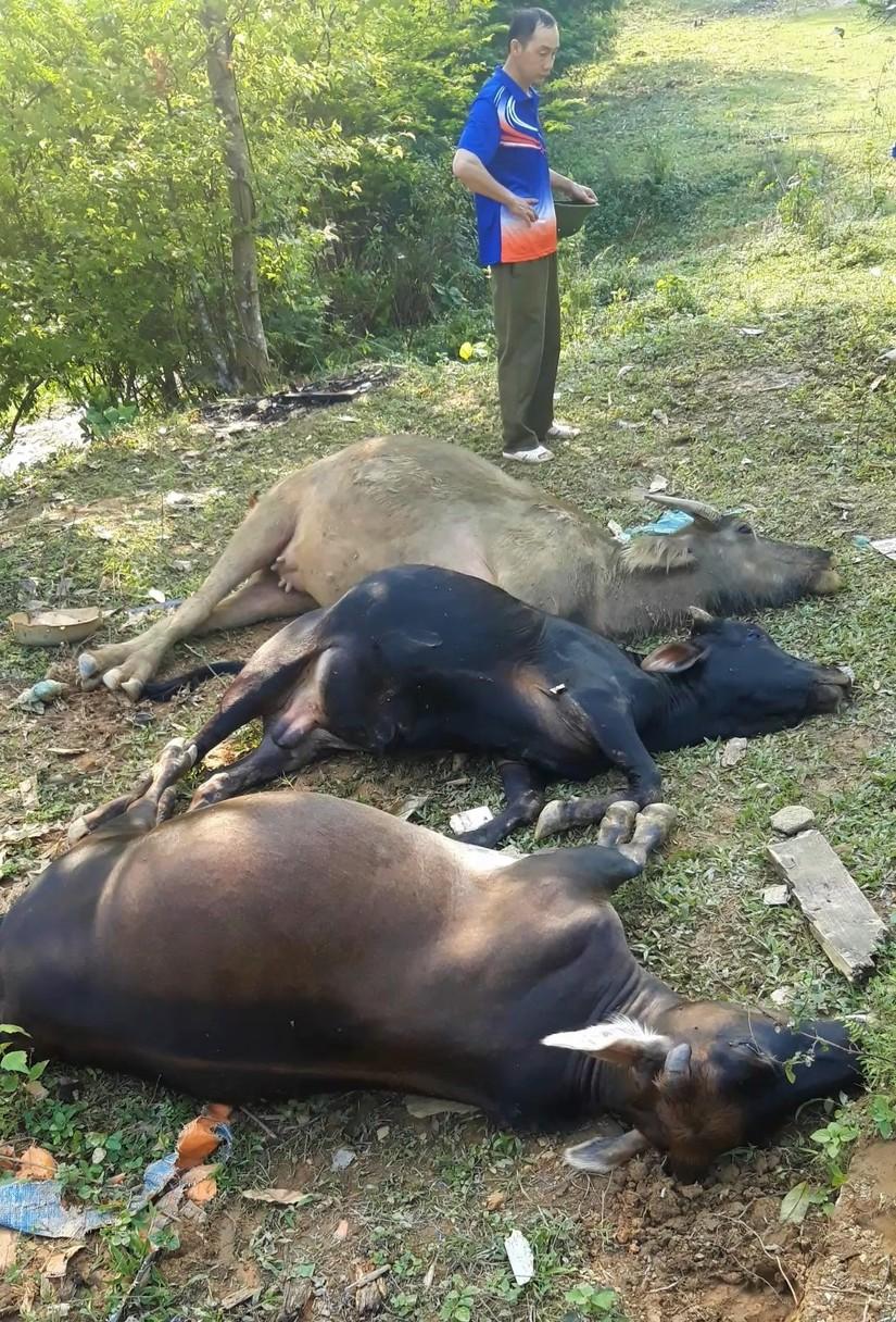 Một điều khá lạ tất cả trâu, bò bị chết đều nằm trong khu vực mỏ Nà Diếu