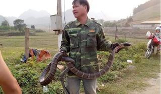 Thả con rắn hổ mang 'khủng' ở Sơn La về rừng