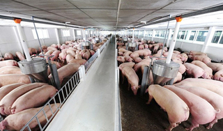 Giá heo hơi hôm nay 12/4: Miền Bắc giảm nhẹ, thêm ổ dịch tả lợn ở Huế