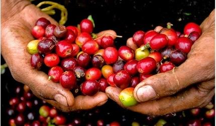 Giá cà phê hôm nay 20/8: Nhích nhẹ 100 đồng/kg