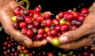 Giá cà phê hôm nay 16/4: Tăng mạnh 600 đồng/kg sau chuỗi ngày giảm
