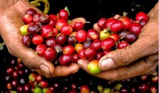 Giá cà phê hôm nay 9/5: Giảm nhẹ 100 đồng/kg so với cuối tuần trước