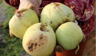 Nghệ An: Khóc ròng vì dưa lê bị sâu ăn thủng, héo rũ chết hàng loạt
