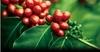Giá cà phê hôm nay 20/10: Chốt phiên cuối tuần 31.100 – 31.600 đồng