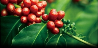 Giá cà phê hôm nay 14/6: Giảm 300 đồng/kg, dao động trong khoảng