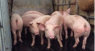 Giá heo (lợn) hơi hôm nay 4/5: Tiếp tục đà giảm giá trên cả nước, chưa có dấu hiệu phục hồi