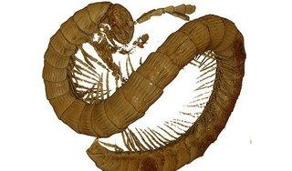 Phát hiện hoá thạch rết cổ đại 99 triệu năm tại Đông Nam Á