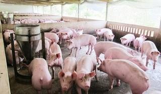 Giá heo (lợn) hơi hôm nay 6/5: Chưa thể phục hồi vì dịch tả lợn châu Phi diễn biến phức tạp