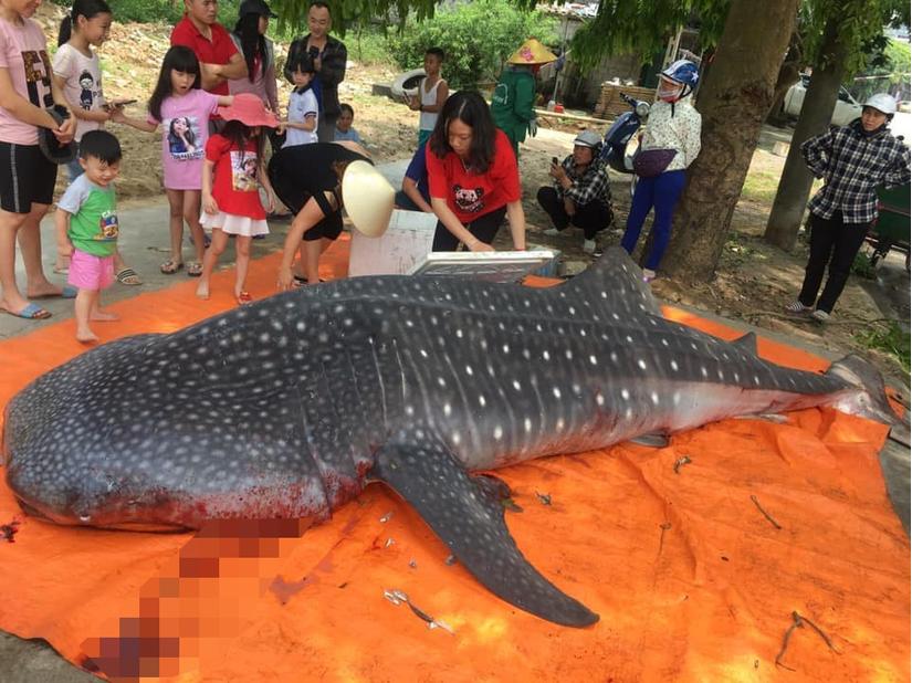 Sự thật việc người dân Thanh Hóa xẻ thịt cá voi nhám quý hiếm