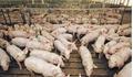 Giá heo (lợn) hơi hôm nay 8/5: Nhiều tỉnh miền Trung giảm tới 4 giá