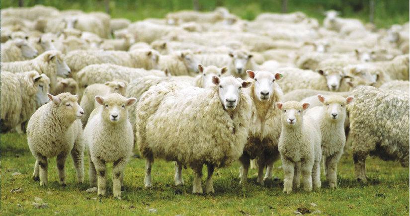 Quá ít học sinh, trường học tuyển cả 15 con cừu cho đông vui