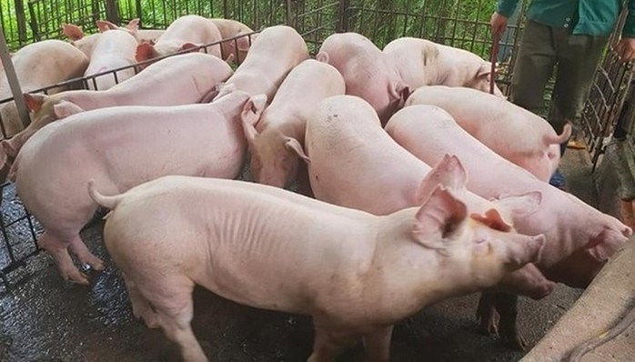 Giá heo hơi hôm nay 11/5: Miền Nam giảm mạnh tới 3 giá do dịch tả lợn châu Phi