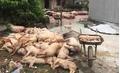 Dịch tả lợn châu Phi lan rộng, đề xuất cấp đông thịt lợn sạch để ăn dần