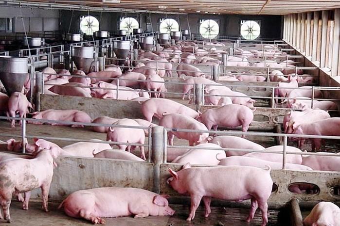 Giá heo (lợn) hơi hôm nay 14/5: Nhiều nơi trên cả nước giảm tới 4.000 đồng/kg