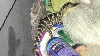 Bị cảnh sát chặn, người phụ nữ bất ngờ lôi cá sấu ra khỏi quần