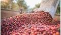 Giá cà phê hôm nay 30/6: Chốt tuần giá cà phê tăng