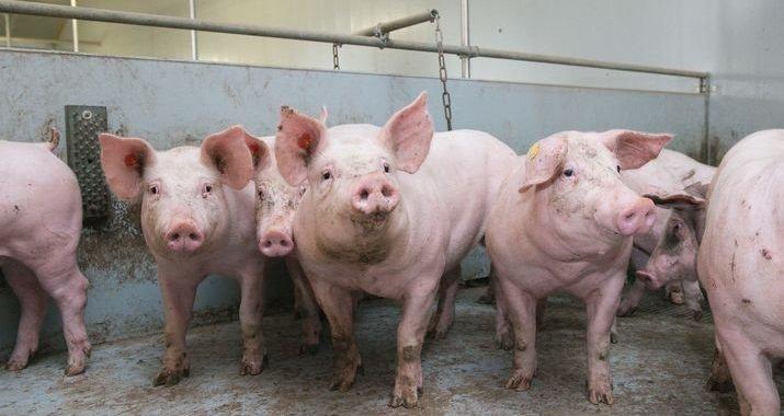 Dịch tả lợn châu Phi bùng phát ở Quảng Nam dù kiểm soát gắt gao