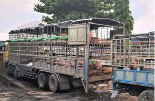 Vì sao xe chở lợn bệnh đi trót lọt từ Bắc Ninh vào Quảng Nam bán?