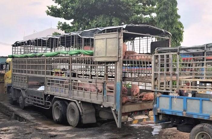 Xe tải chở lợn mắc dịch tả châu Phi từ Bắc Ninh vào Quảng Nam bán