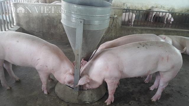 Nam Định: Dịch tả lợn châu Phi càn quét, 10 phần chết 9, dân phá sản3