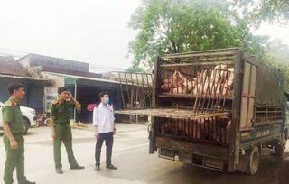 Xe tải chở hơn 2 tấn lợn ốm từ vùng dịch Hà Nam đi Thanh Hóa tiêu thụ