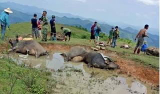 Lạng Sơn: 9 con trâu bị sét đánh chết, thiệt hại hàng trăm triệu đồng