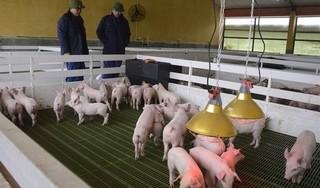 Giá heo (lợn) hơi hôm nay 8/6: Miền Bắc tiếp tục tăng, dự báo cuối năm tăng mạnh