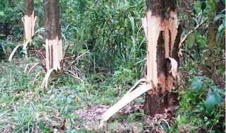 Chủ tịch xã lên tiếng trước thông tin bị tố chặt phá rừng cây của dân