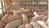 Giá heo (lợn) hơi hôm nay 14/6: Miền Nam có nơi tăng 4.000 đồng/kg