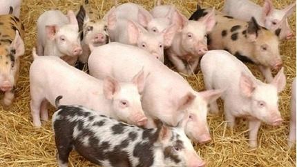 Giá heo hơi hôm nay 18/6: Tạm dứt đà tăng vì các hộ chăn nuôi đua nhau bán
