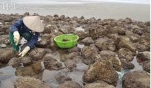 Nam Định: Săn 'lộc biển' bé tin hin bám ở đá, kiếm nửa triệu/ngày
