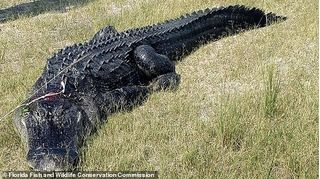 Rùng rợn các mảnh thi thể người trong bụng cá sấu nặng hơn 2 tạ