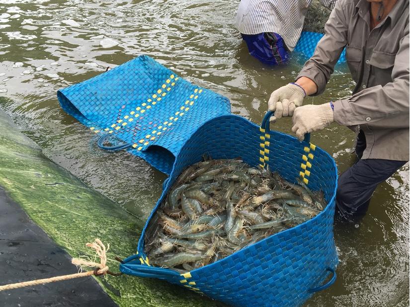 Ngỡ ngàng với công nghệ thu hoạch tôm siêu tốc của Tập đoàn Thủy sản Minh Phú