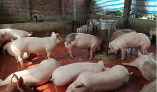 Giá heo (lợn) hơi hôm nay 2/7: Tiếp tục lao dốc trên cả nước